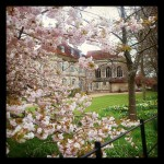 Cherry blossoms outside Wolvesey Castle