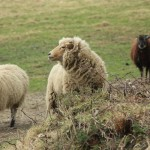Saw some prize-winning sheep!