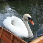 Well hello, pretty swan